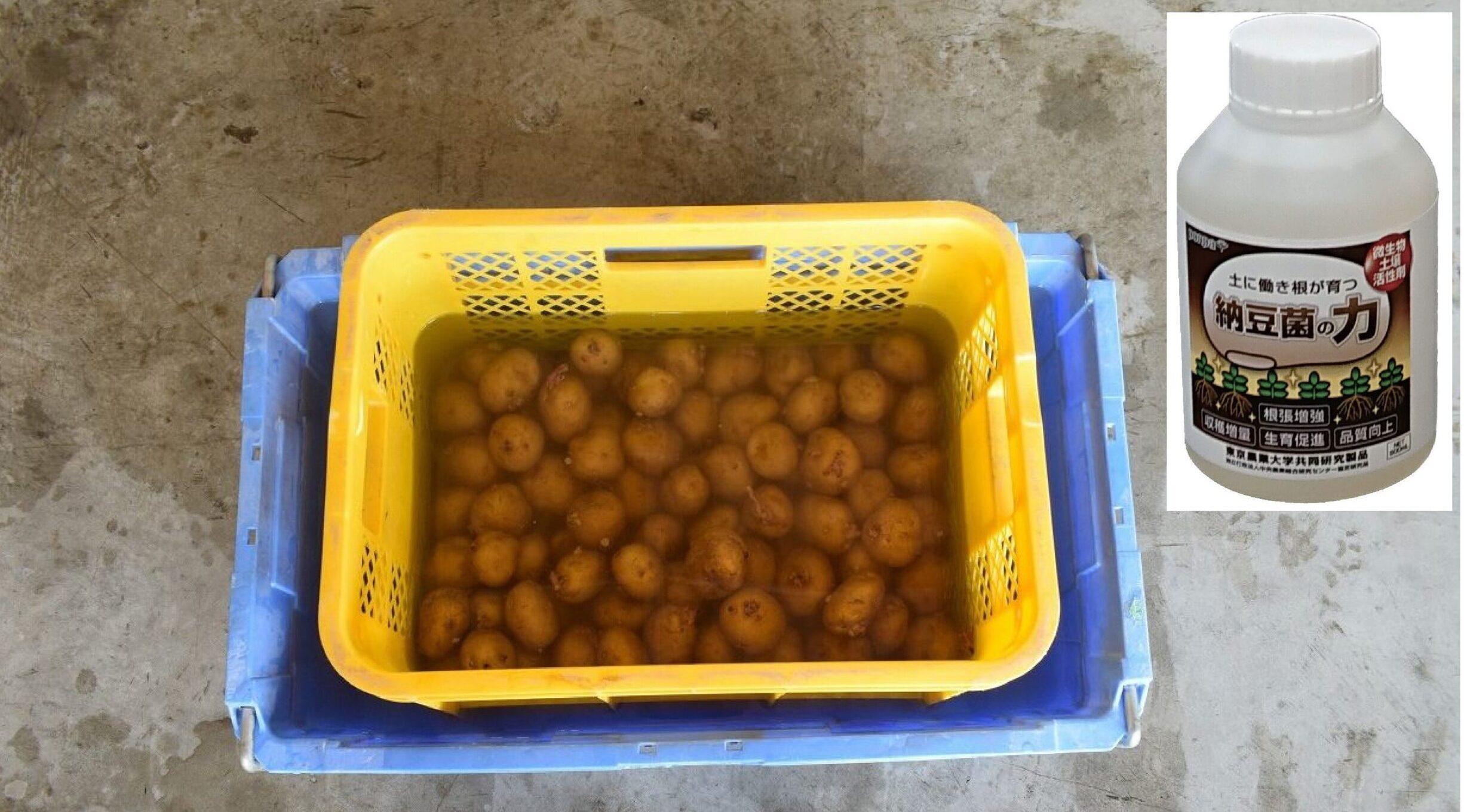 「納豆菌の力」をジャガイモに使ってみた!